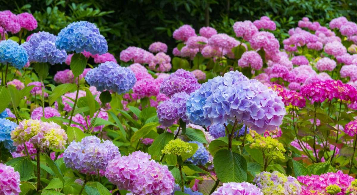 C mo cuidar las hortensias 7 claves para su cuidado - Cuidado de las hortensias ...