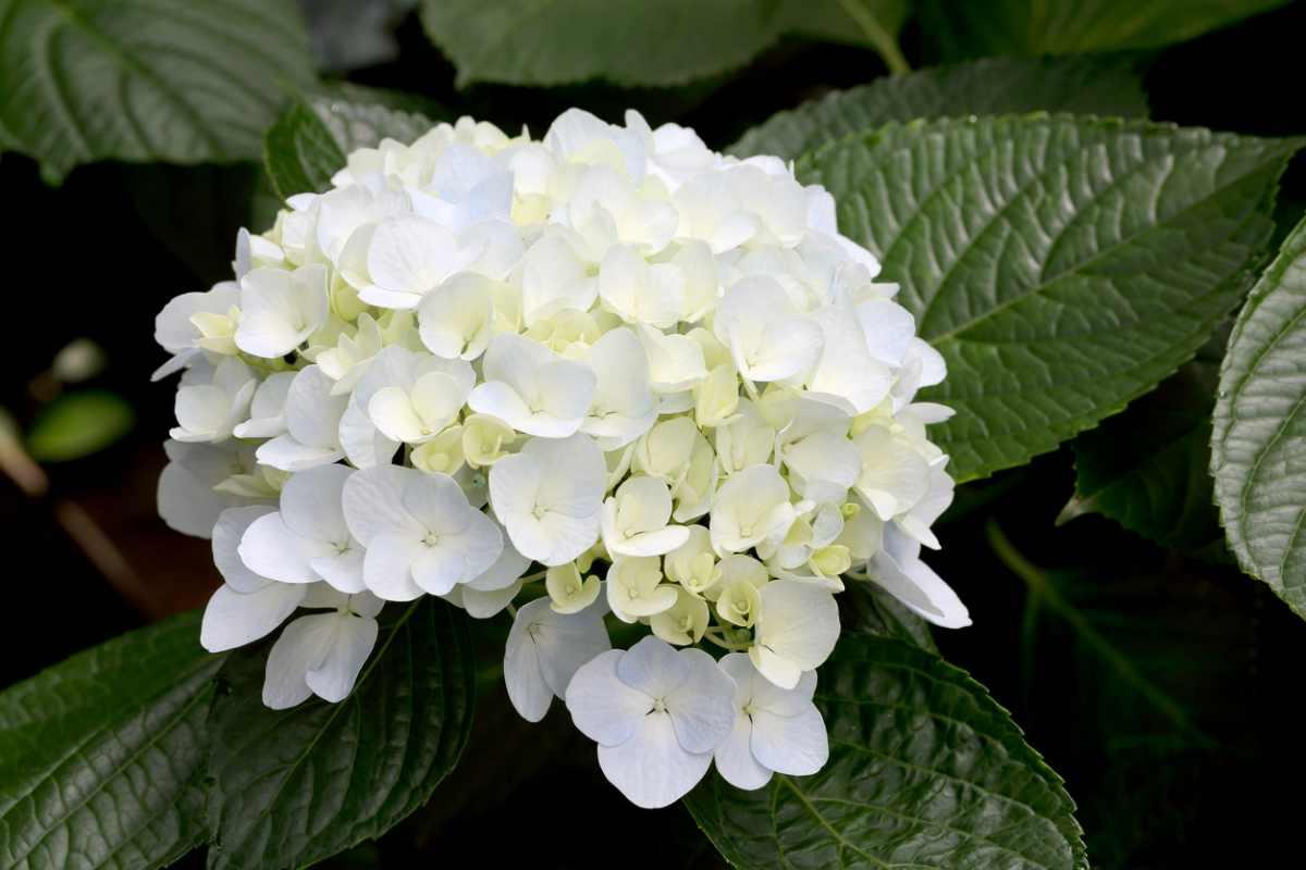 C mo cuidar las hortensias 7 claves para su cuidado - Como cuidar una hortensia de exterior ...