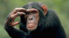 Descubre los datos científicos que demuestran el parecido entre simios y seres humanos.