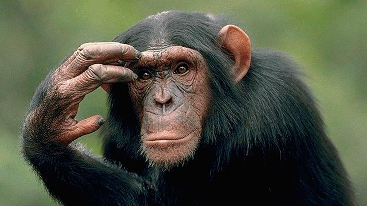 A qué simios nos parecemos más?