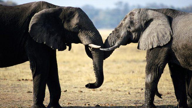 Elefantes amor