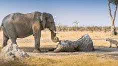 """Los elefantes pueden """"morir de amor"""" 3"""