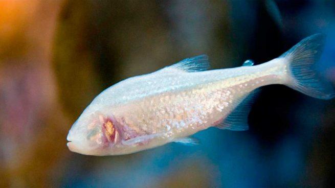 peces ciegos
