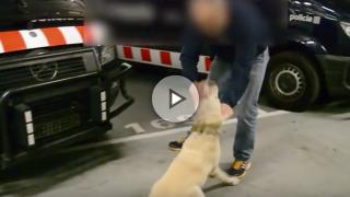 Entrenamiento de un perro de la Unidad Canina de los Mossos para detectar explosivos.