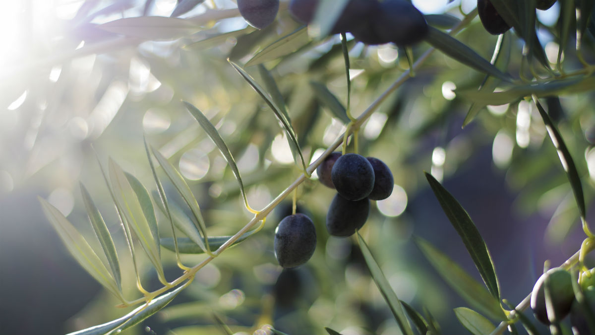 Aceitunas negras (Foto:iStock)