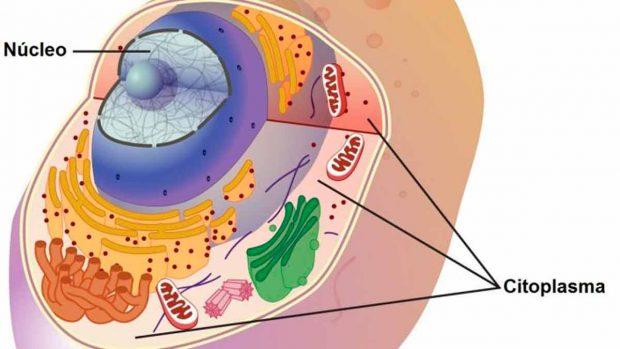 Qué Es El Citoplasma Funciones Estructura Y Características