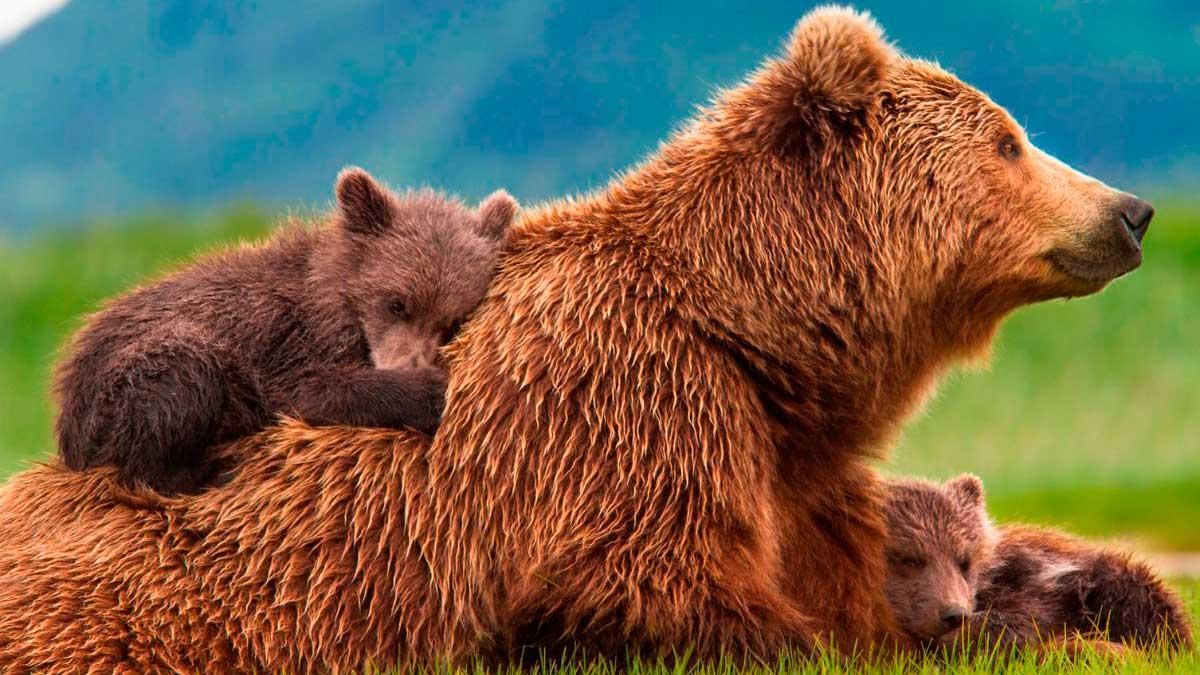 El olor de pies es un aspecto vital para los osos pardos.