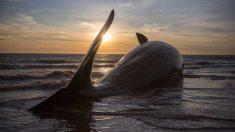 Cada vez más ballenas mueren a gran escala en nuestras costas.
