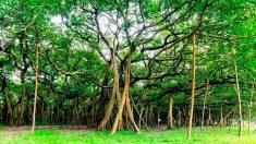 Te presentamos el bosque formado por un solo árbol