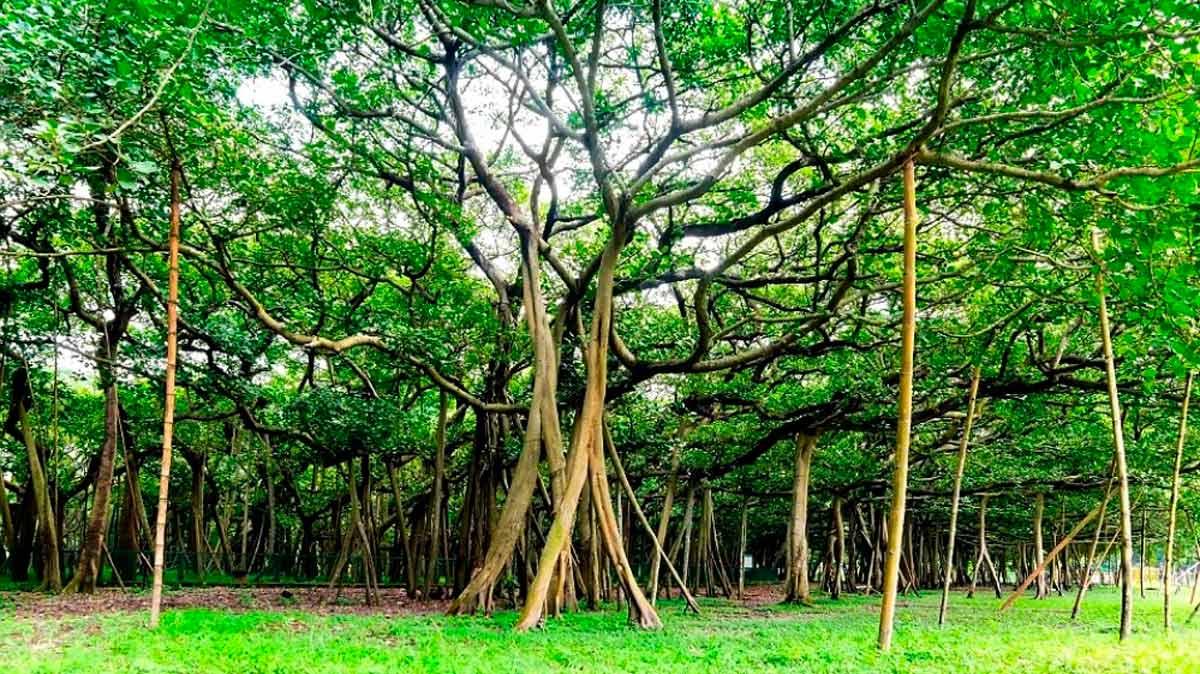 Las claves del gigantesco bosque formado por un solo rbol for Investigacion de arboles