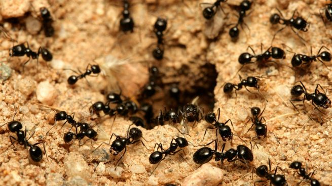 Las 5 hormigas m s peligrosas del mundo - Casa de hormigas ...