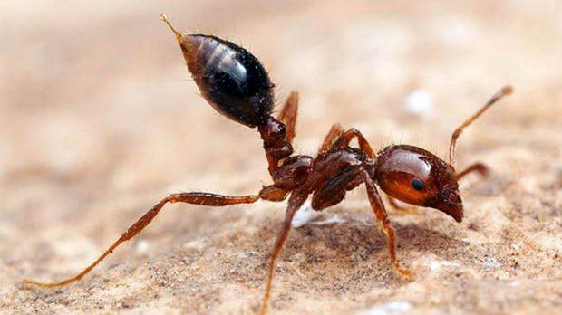 Las 5 hormigas m s peligrosas del mundo - Como acabar con las hormigas en el jardin ...