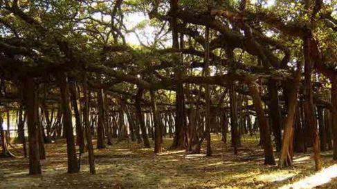 Este árbol pertenece a los banianos o también llamados higueras de Bengala.