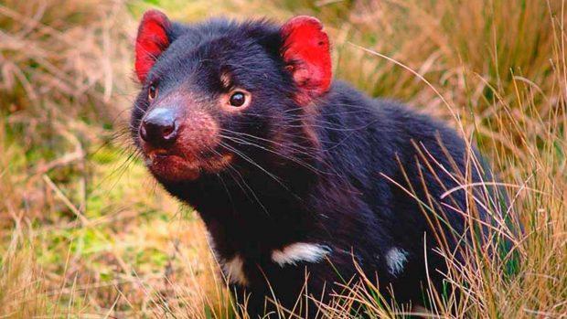 9 datos muy interesantes sobre el demonio de Tasmania, un ...