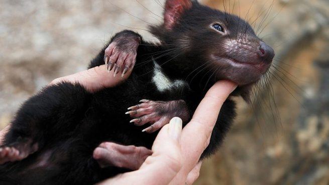 Resultado de imagen para demonio de tasmania