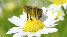 La inmensa mayoría de las avispas son parásitos o predadoras.