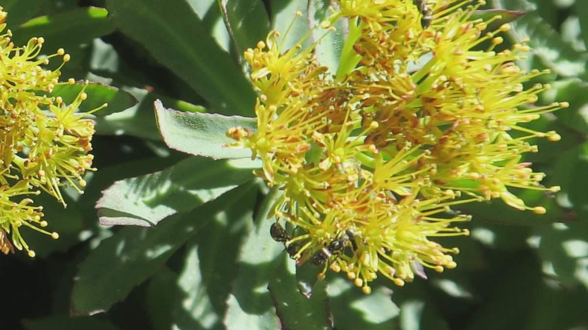 Rhodiola plantas beneficiosas