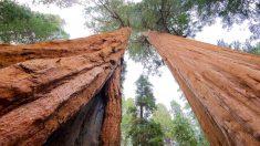 Capitán Sherman vive en Giant Forest, dentro del Sequoia National Park.