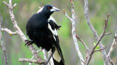¡Atención! Los pájaros atacan a la población en Australia
