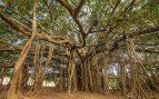 Ficus Banyan