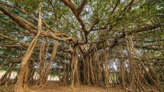El Ficus Banyan es famoso por sus curiosas raíces aéreas.