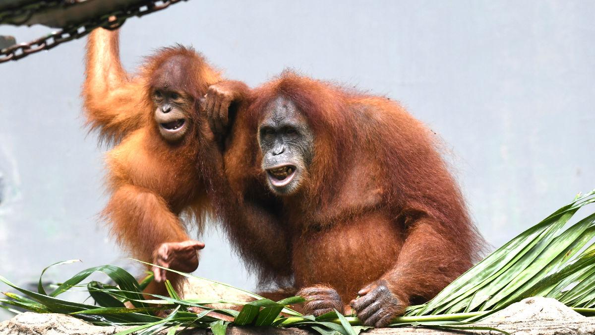 Imagen de un orangután y su cría (Foto: AFP).