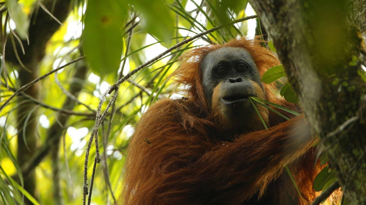 El Pongo tapanuliensis es la tercer especie de orangután que ha sido descubierta