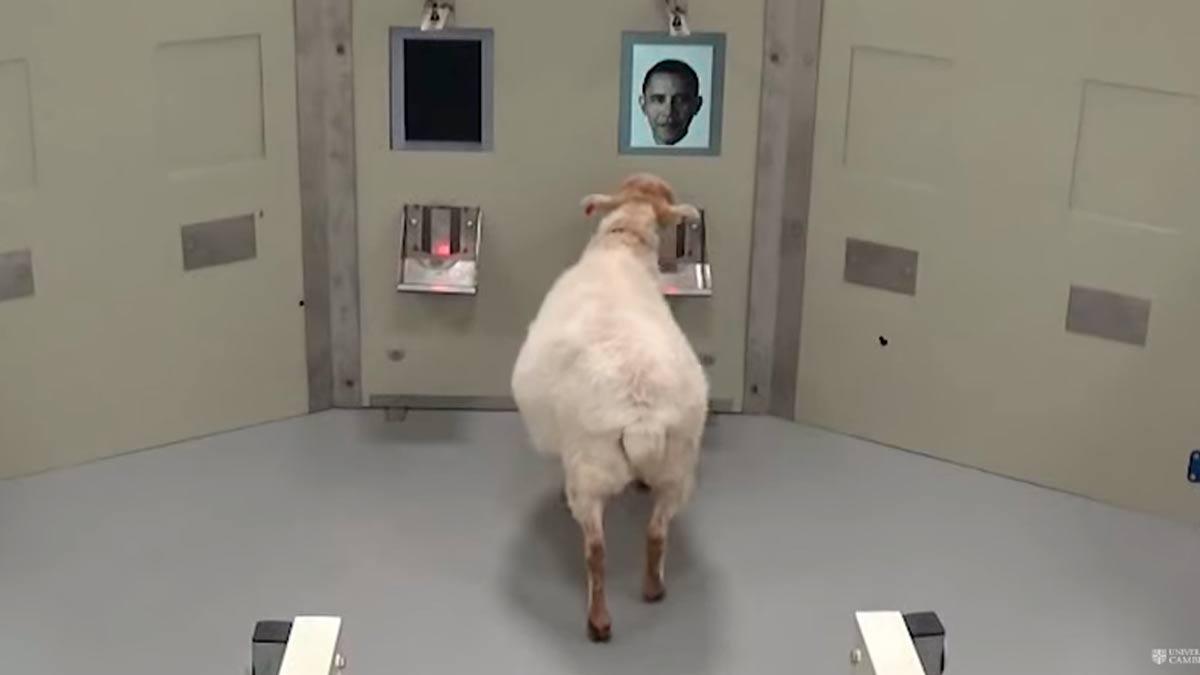 Una de las ovejas del estudio reconociendo la cara de Barak Obama