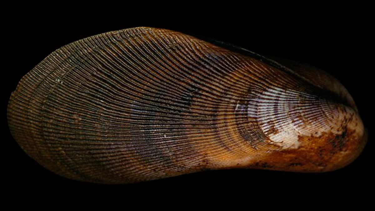 Los mejillones avanalados son la especie elegida por los científicos