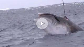 """Un fragmento del vídeo que muestra a los """"investigadores"""" japoneses cazando una ballena en un santuario dedicado a este cetáceo en aguas Australianas. Video: Sea Sheperd"""