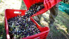 El sector de la aceituna (Foto: iStock)