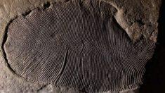 Esta fauna de la edad prehistórica pertenece al período Ediacárico.
