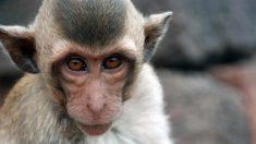Twitter: Unos monos roban muestras de coronavirus a un investigador en plena calle