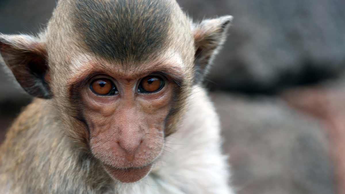Unos monos roban muestras de coronavirus a un investigador en plena calle – Noticias España