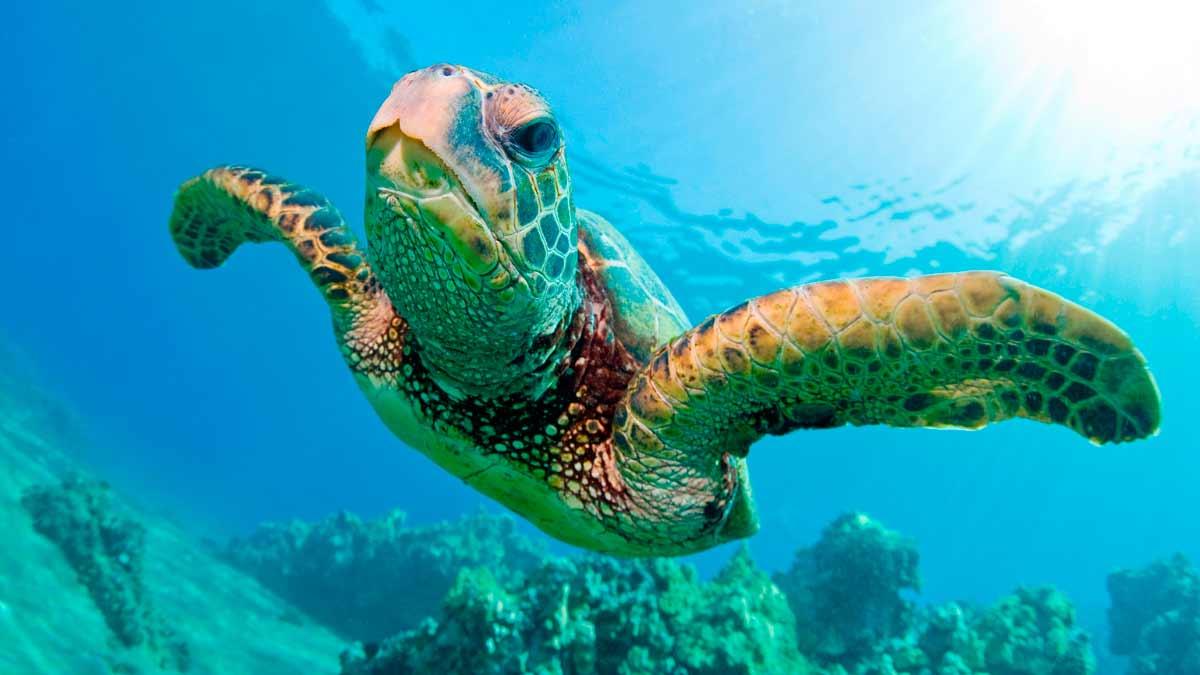 Las tortugas Fitzroy  son capaces de respirar por el ano