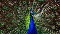 La cola del pavo real llama la atención por su tamaño y belleza.