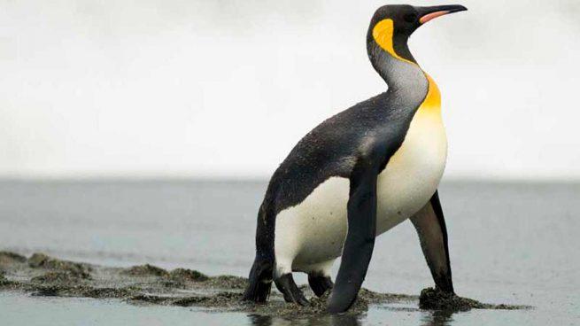 Los datos más curiosos del pingüino prehístorico gigante