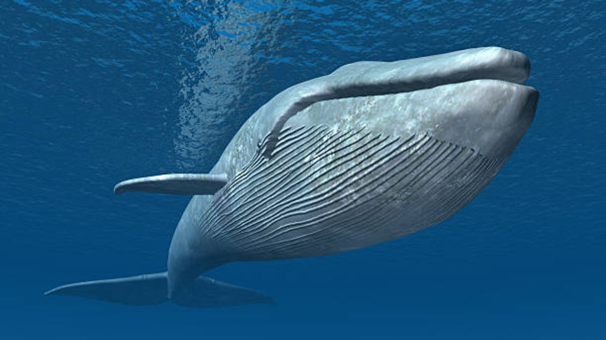 La ballena es el animal con el pene más grande en el mundo