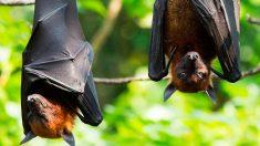 El murciélago zorro es el mayor perjudicado de la ola de calor australiana