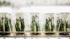 Unas plantas alteradas genéticamente