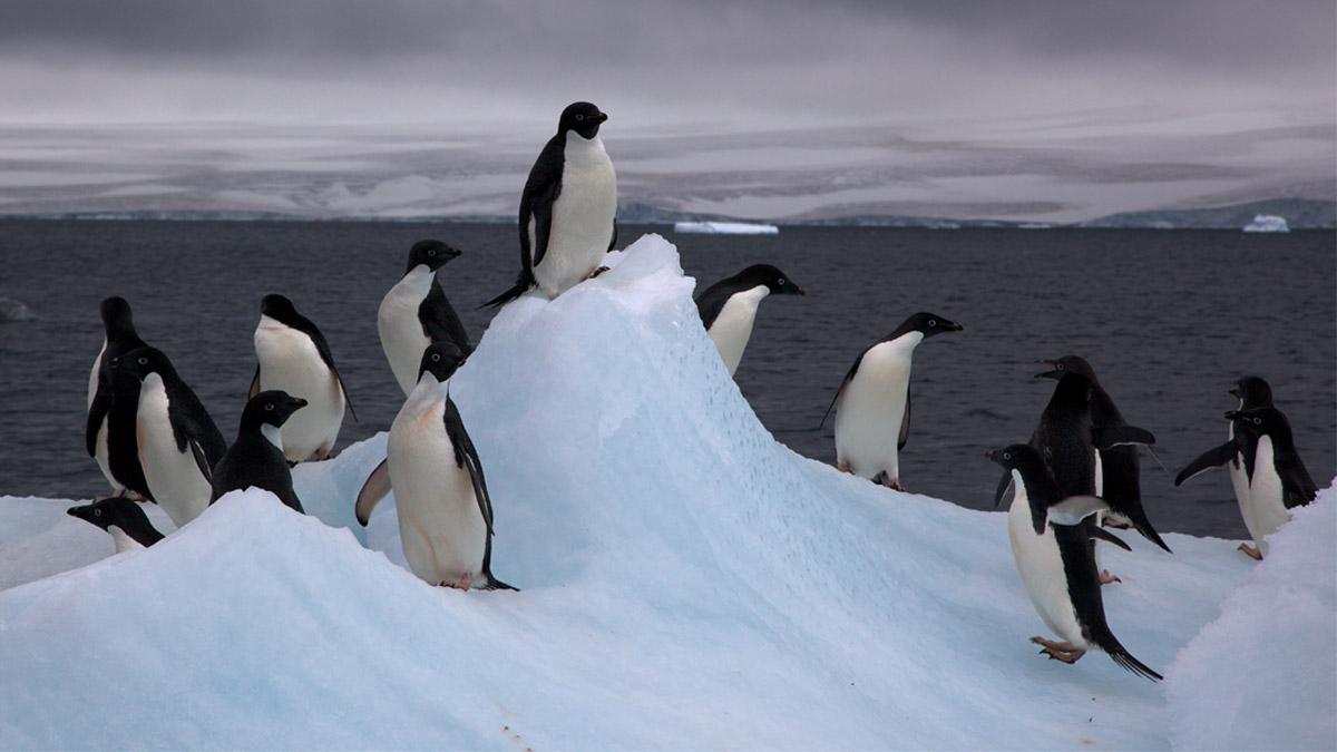 El nacimiento de los tres bebés pingüinos Adelie tuvo lugar en el Zoológico de Guadalajara los días 25 y 26 de diciembre y 2 de enero