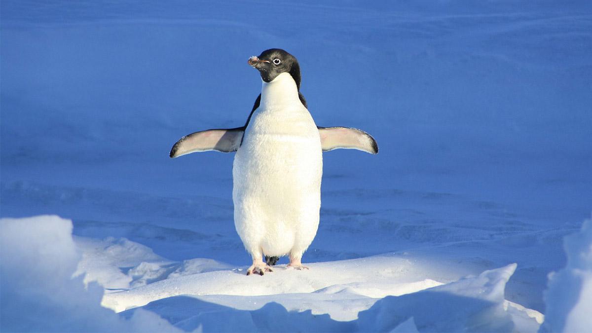 El Ejército de Tierra nos invita a apadrinar un pingüino de la Antártida y a colaborar en la lucha contra el cáncer a través de su campaña de apadrinamiento