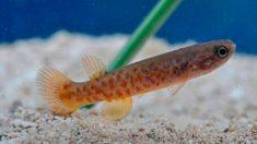 Un pez que puede fertilizarse a sí mismo
