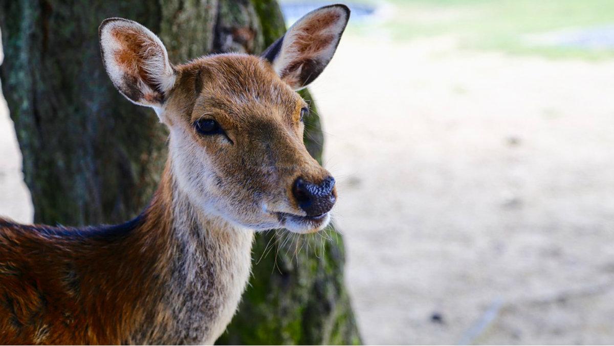 Japón desarrolla un tren que ladra para asustar a ciervos
