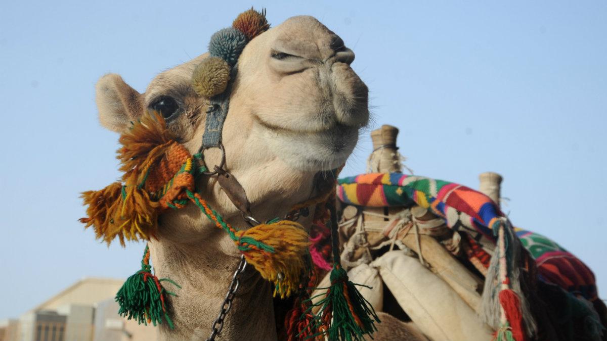 Camellos, los protagonistas de un festival en Arabia Saudí