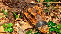 Los cocodrilos naranjas, la nueva especie que ha sorprendido al mundo (3)
