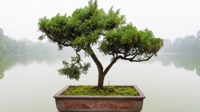 Cuidar un bonsái paso a paso