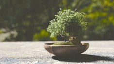 Aprende como debes cuidar un bonsai paso a paso