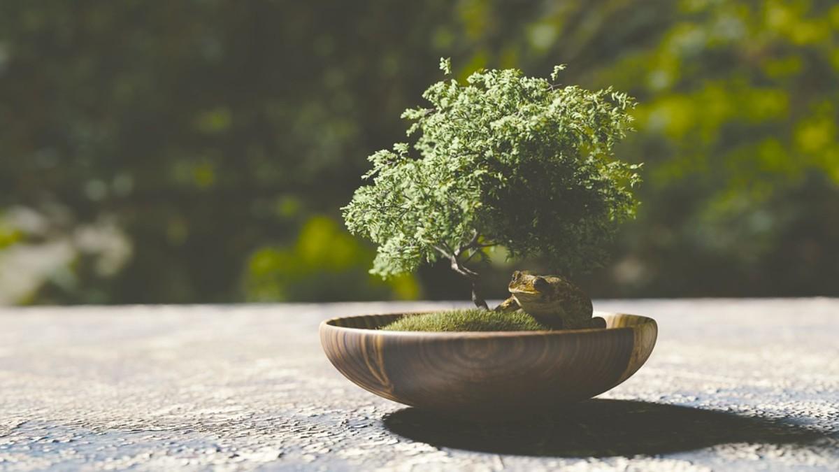 C mo cuidar un bons i paso a paso gu a b sica de cuidados - Como cuidar un bonsai ...