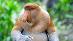 La verdad sobre la nariz de los monos narigudos